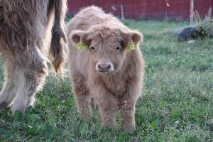 lomamokkila-vasikka-cow