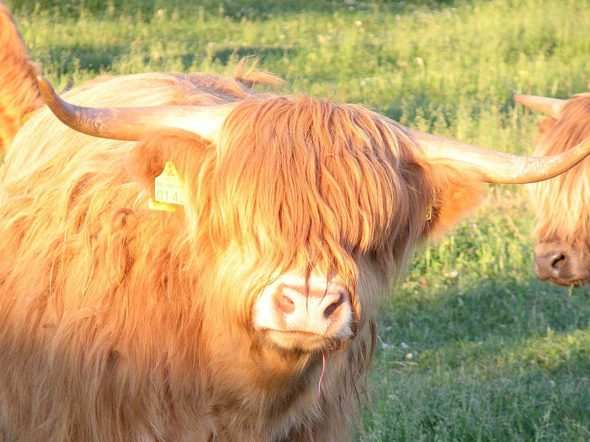lehma_cow_katse_looking