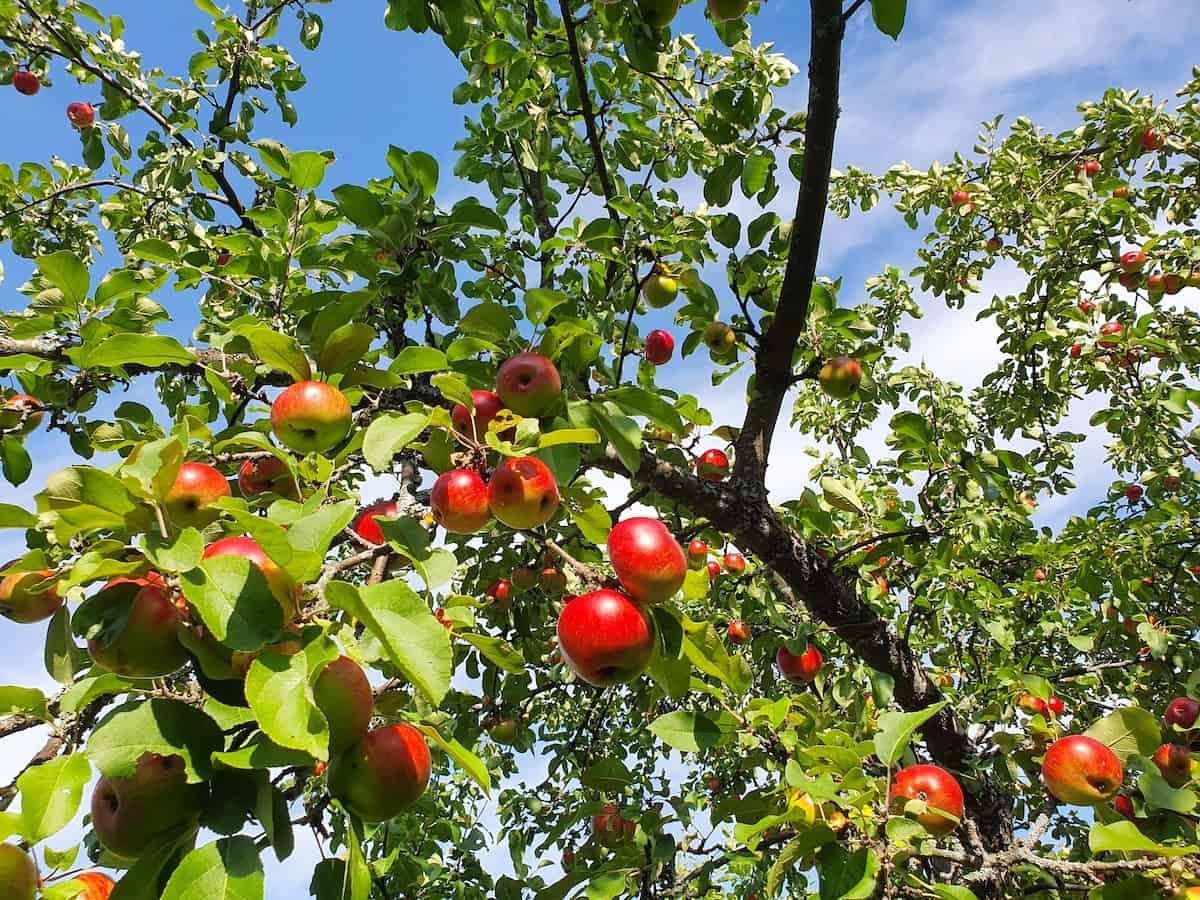 lomamokkila-omenat